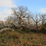 The Millenary Oaks Reservation